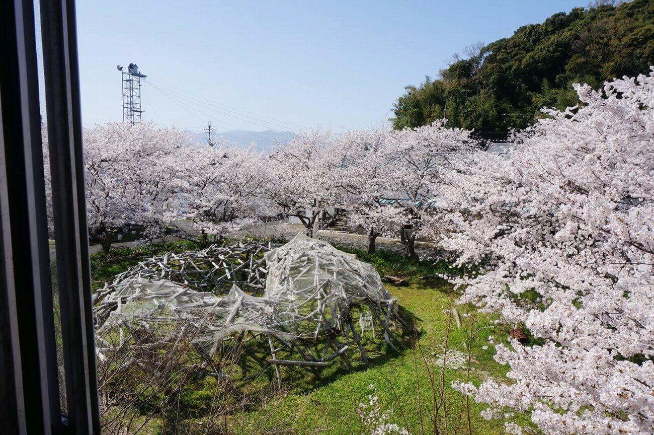 漁業会館から見た桜